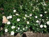 10-Weisse Rosen