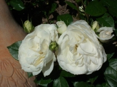 11-Weisse Rosen