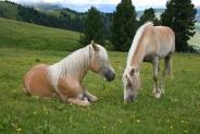 13-Haflinger Pferde